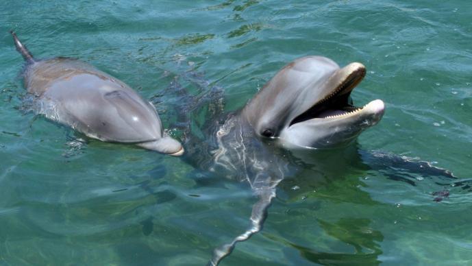 Delfines Placer sexual Clítoris de delfín
