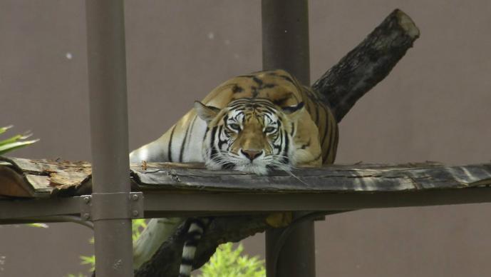Muere Shere Kan tigre de bengala macho