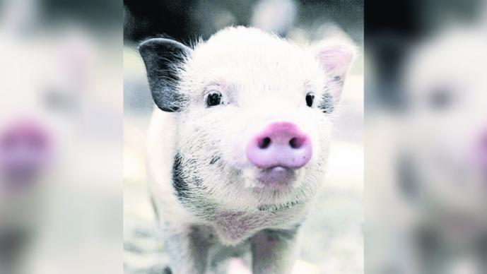 Investigadores reviven cerebros muertos de cerdos