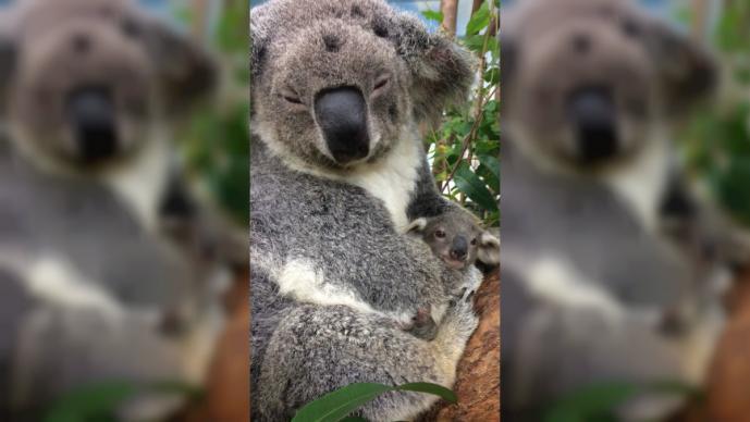 extinción funcional del Koala