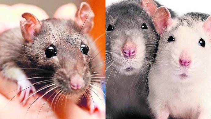 Revelan que las ratas son capaces de recordar y recompensar la amabilidad