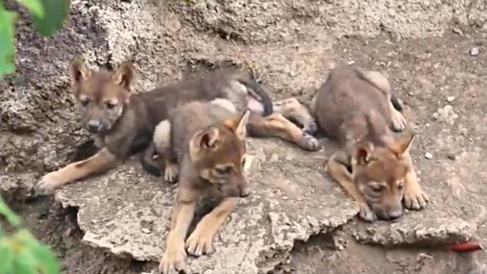 272a86d9e3a5 Nacen tres ejemplares de lobo gris mexicano en el Museo del Desierto de  Saltillo