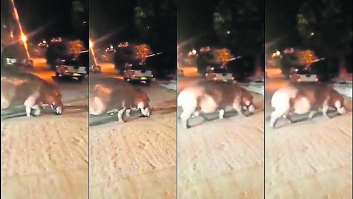 Hipopótamo narco rol pueblo