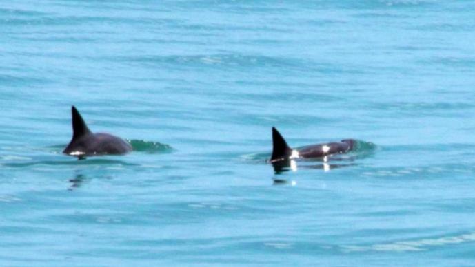 vaquita marina avistamiento peligro de extincion aguas mexicanas