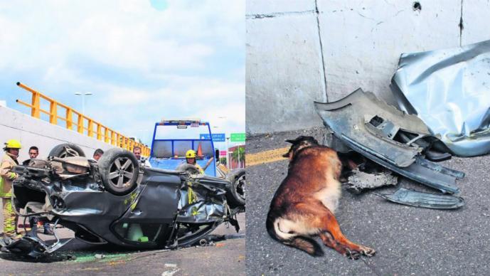 Accidente automovilístico sobre el Paso Exprés muere pastor alemán