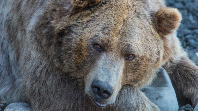 Imágenes osos pardos demacrados