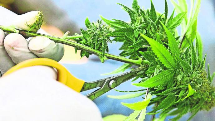 regulación consumo legalización marihuana medicinal doctores no saben recetar prescripción cannabis