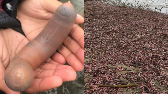 Localizan miles de peces pene varados en las playas de California, EU