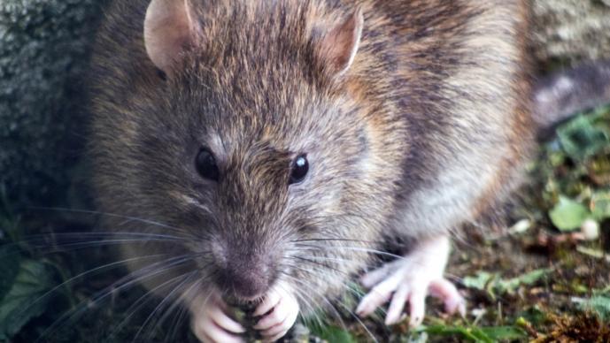 Alerta en China tras detectar 'hantavirus' tras muerte de hombre; roedores son portadores