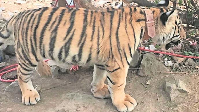 Liberan a hombre privado de su libertad e incautan armas, drogas y un tigre en el Edomex