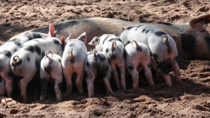 """Epidemiólogo de Harvard ve prematuro contagio pandémico por """"nueva"""" cepa porcina en China"""
