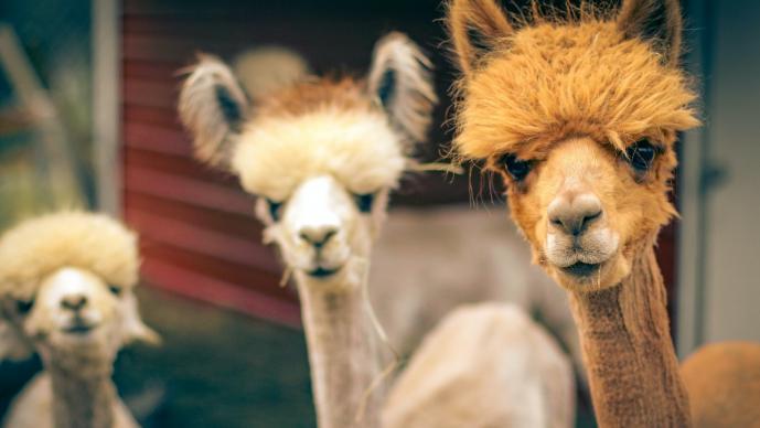 Así fue descubierto el 'nanoanticuerpo' de las alpacas que neutraliza el SARS-CoV-2