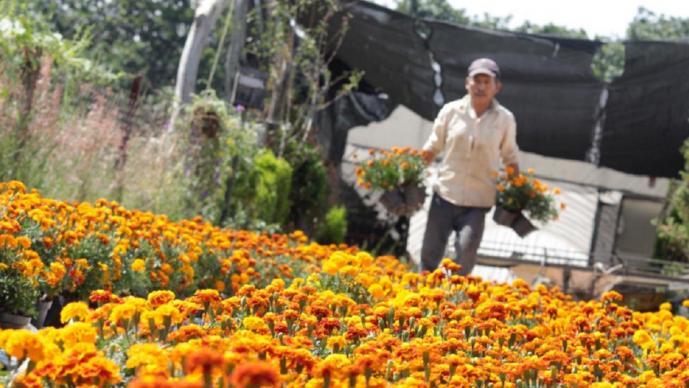 Tras cierre de panteones previo a Día de Muertos, baja la venta de cempasúchil en Morelos