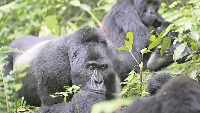 Gorilas dan positivo de Covid en un zoológico de California, en Estados Unidos