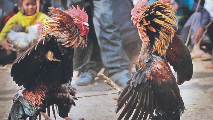 Gallo le acuchilla la ingle a su dueño y lo mata durante pelea clandestina, en India