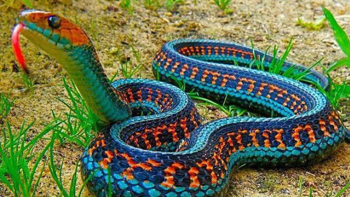 Serpiente jarretera