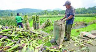 Autoridades impulsan venta de maíz pero no cumplen objetivos, en el Estado de México . Noticias en tiempo real