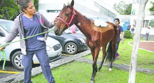 Mixtli la yegua rescatada por Propaem y atendida por la UNAM. Noticias en tiempo real