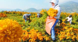 Revive la producción de cempasúchil en Tenango del Valle. Noticias en tiempo real