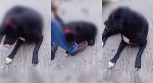 Mujer desalmada machetea a perro pero éste sobrevive y pide ayuda, en Cuernavaca . Noticias en tiempo real