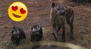 Anuncian el primer nacimiento de hienas moteadas en el Zoológico de Chapultepec. Noticias en tiempo real