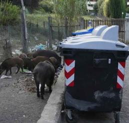 Roma enfrenta invasión de jabalíes que se alimentan de basura y causan accidentes