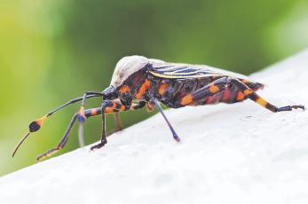 ¿Sabías que hay una enfermedad provocada por heces de insectos? Aquí te contamos todo