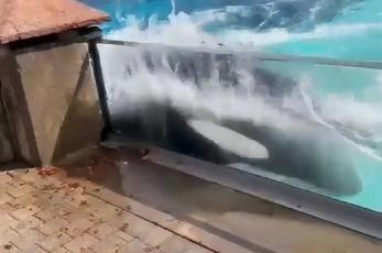 Dramático momento en que una orca intenta escapar de un estanque, por presunto estrés