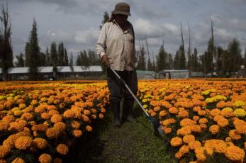 Productores de flor de cempasúchil en Xochimilco ya están listos para el Día de Muertos