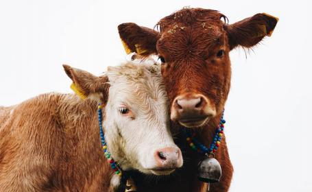 Científicos neozelandeses y alemanes logran enseñar a vacas a ir al baño